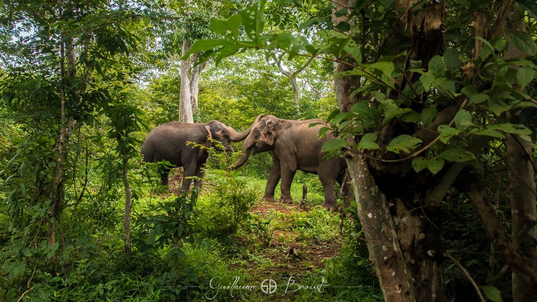 Elephants make love in Laos ©Guillaume Broust - Les Chants de l'Eau